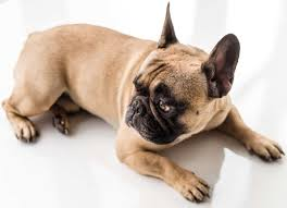 How Much Do French Bulldog Puppies Cost And Finding Them