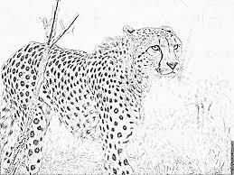 Imprimer Animaux Animaux Carnivores Guepard Num Ro 64743