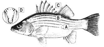 Texas Fish Chart Bass Fish Diagram Get Rid Of Wiring Diagram Problem