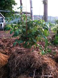 a new type of planting growing tomatoes and peppers using hay bales