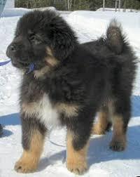 Tibetan Mastiff Information Tibetan Mastiffs Tibetan