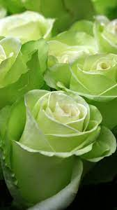 Wallpaper Green roses, water droplets ...