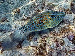 scrawled filefish. Brilliant Scrawled A Scriptus From North Pacific Hawaii And Scrawled Filefish A
