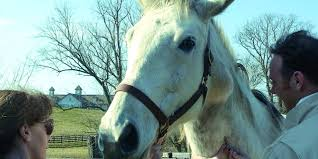 Equine Melanoma We Need To Help The Old Gray Mare The Horse