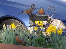Robins Kitchen Garden City Robins And Daffodils And The Case Of The Missing Rain Gardening