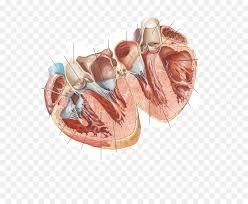 Cardiac Anatomy Chart Atlas Der Anatomie Des Menschen Cardiac Anatomy Chart