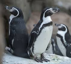 best penguin images penguin fluffy pets and nature essay on penguins oregon zoo penguins back home after home improvements photo essay