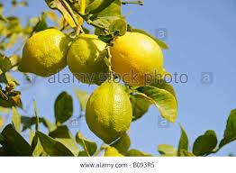 lemon tree x: lemons citrus x limon hanging from a lemon tree la nucia alicante costa blanca spain