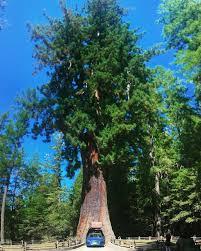 drive thru tree park leggett california chandelier drive thru tree is 180