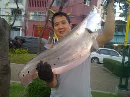 Asian clown knife fish