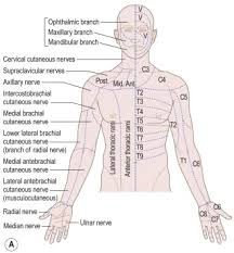 Nerve Root Dermatome Chart Dermatome An Overview Sciencedirect Topics