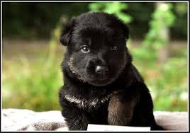 baby black german shepherd. Contemporary Shepherd Baby Black German Shepherd Puppies Pets For UPets  U To N