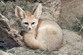 fennec fox. Brilliant Fox Fennec Fox To E