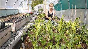 how to grow sweet corn courgettes zucchini and beans the three sisters you