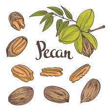 pecan tree clip art. Perfect Tree Pecan Nuts Isolated On A White Background Vector Illustration Vector Art  Illustration In Tree Clip Art C
