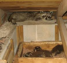 attic in house. step one go in the attic and find remove litter of baby raccoon pups 90 time there will be young even if you didnu0027t know that house n
