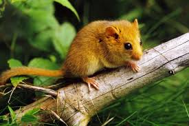 Rodents Lower Classifications Facts And Characteristics Of Rodents