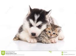 cute kittens and puppies cuddling. Unique Cute Cute Siberian Husky Puppy Cuddling Cute Kitten And Kittens Puppies Cuddling