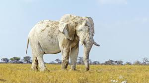 white elephant animal. Simple Animal White Elephant In Etosha For Animal N