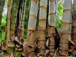 Hasil gambar untuk bambu