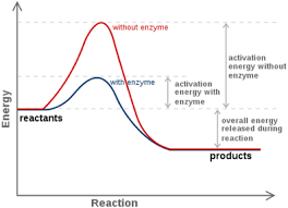 Enzyme Chart Enzymes And Reaction Rates