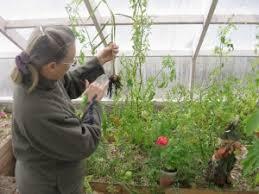 Cum poti sa cultivi ghimbir la tine acasa