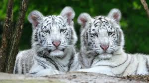 white tiger wallpaper free download. Delighful Download And White Tiger Wallpaper Free Download P