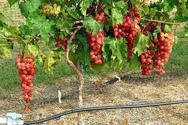 Oklahoma Grape Pruning Workshop Perkins March 8 Agfax