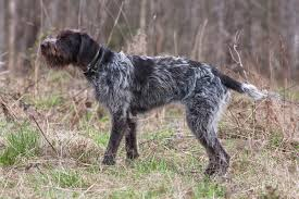 Dogs 101 German Wirehaired Pointer ...