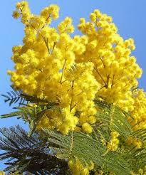 Bildergebnis für lizenzfreie bilder mimosa italien kostenlos