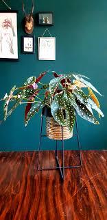 My Favorite Green Child Begonia Maculata Indoorgarden
