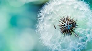 high definition flower wallpapers 1080p. Unique Wallpapers High Quality 1080p White Dandelion Wallpapers  Full HD Pictures  Intended Definition Flower