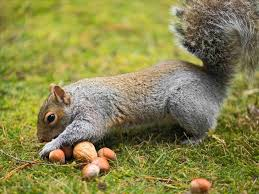 Image result for squirrel burying acorn