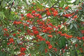 ashoka medicinal plant uses and pictures ashoka tree  sita ashok saraca asoca leaves flowers
