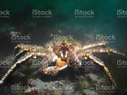 Green Haired Red King Crab Eating ...