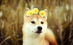 doge wallpaper android.  Doge Free Doge Wallpapers Wide  Long To Wallpaper Android