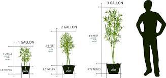 Bamboo Plant Sizes Lewis Bamboo