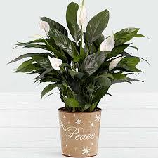 Tropical office plants Direct Sunlight Types Of Office Plants Lush Tropical Peace Lily Best Types Of Office Plants Mcfarlane Douglass Types Of Office Plants Sophiamillerinfo