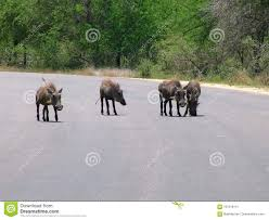 Wild Warthog Pigs Standing On A Paved Roadway Stock Image Image Of