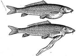 Дипломная работа Диагностика и профилактика инвазионных  В тяжелых случаях заболевания изменяется поведение рыб они постоянно держатся в верхних слоях воды и беспокойно плавают рыба как говорят