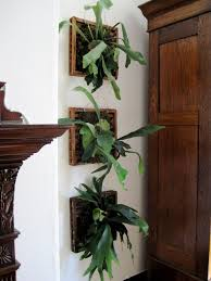 Staghorn Fern Low Light Mounted Staghorn Ferns Ive Never Seen Them In A House