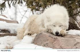 Image result for free photos wolf sleeping
