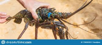 34 Live Lobster Hands Photos - Free ...