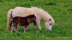 baby mini horse.  Horse Baby Horse And Mother To Mini Horse