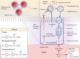 Thyronine An Overview Sciencedirect Topics