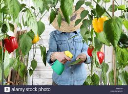 woman working in vegetable garden spray pesticide on the green leaves of sweet peppers lush plants take care for plant growth