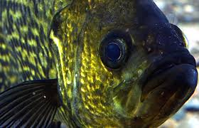 Crappie Length To Weight Conversion Chart This Is Fishing