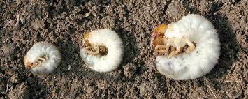 What To Do About White Grubs Triangle Gardener Magazine