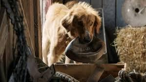 Mes vies de chien de Lasse Hallström un joli film emouvant et tendre.....