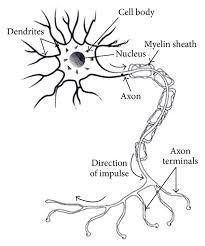 Structure Of Biological Neuron Download Scientific Diagram